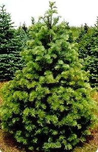 pinetreeunornamented